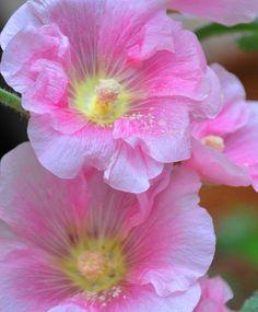Pink Hollyhock (Alcea rosea) by tanplal on Flickr.