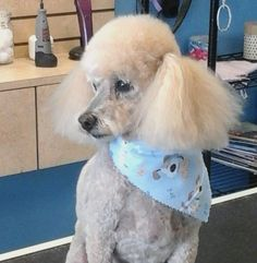 Zeus #tucsondoggrooming #doggrooming #wagsmytail A well groomed dog is a well loved dog! Call us today to schedule your dog grooming appointment 520-744-7040