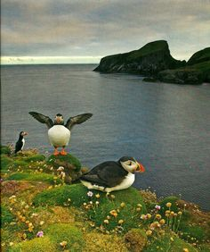 Picture perfect puffins
