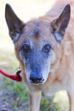 Rex ID12735. We all need love, no matter our age. - Large Male German Shepherd in VIC - PetRescue