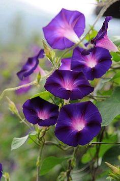 최순자's media content and analytics Exotic Flowers, Tropical Flowers, Amazing Flowers, Purple Flowers, Wild Flowers, Beautiful Flowers, Violet Garden, Morning Glory Flowers, Photo D Art