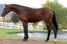 Horse ABC: Holsteiner