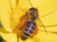Bee Pollen the Superfood! (What I want to know is HOW they harvest the stuff. Do they comb their little bee legs? lol) Also links to a great beekeeping resource, and tells about honey/pollen historic uses, bee predators and pests, etc. Public Domain, Bee Poem, Honey Bee Pictures, Honey Bee Facts, Bees For Kids, Bee Facts For Kids, How To Kill Bees, Bee House, Backyard Beekeeping