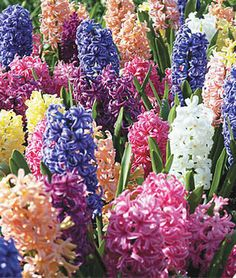 Hyacinth, Mix.Strong colors in welcoming Spring shades.