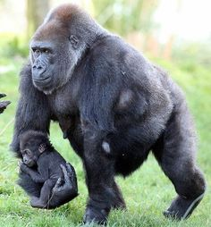 Gorilla Babe in her arms: It may be time to stand on her own, but Kukena prefers to ride a horse with her mother - Mammals Primates, Mammals, Nature Animals, Animals And Pets, Strange Animals, Wild Animals, Beautiful Creatures, Animals Beautiful, Cute Baby Animals