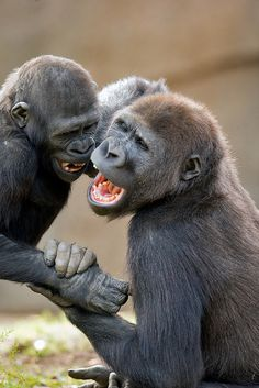 The Safari Park's renowned gorilla jokesters, 3-year-old Frank and 5-year-old Monroe.
