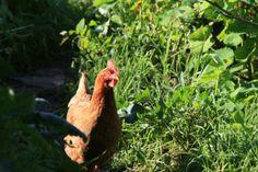 free range chicken at Terra Alta