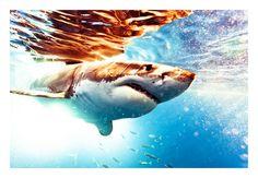 Michael Muller- great white shark