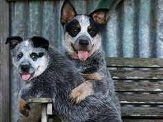 Australian Cattle Dog puppies Marny and Butey are the best of friends. Picture: Nathan Ed