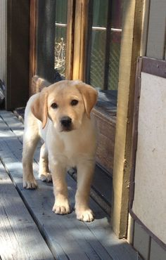 Mind Blowing Facts About Labrador Retrievers And Ideas. Amazing Facts About Labrador Retrievers And Ideas. Cute Puppies, Cute Dogs, Dogs And Puppies, Doggies, Labrador Retriever Dog, Labrador Dogs, Golden Labrador, Black Labrador, Black Labs