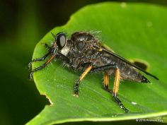 Robber fly, Asilidae