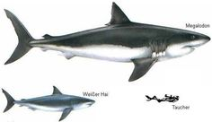 Can you imagine the terror this thing brought to the prehistoric oceans?  People are scared enough of the Great Whites as it is.