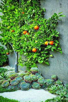 Orange Tree Espalier