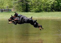 Dock Diving? - Doberman Forum : Doberman Breed Dog Forums