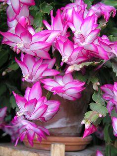 Pink cactus in bloom.