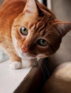 Ginger cats I love cats I Love Cats, Crazy Cats, Cool Cats, Orange Tabby Cats, Red Cat, Charles Darwin, Here Kitty Kitty, Kitty Cats, Grumpy Cats