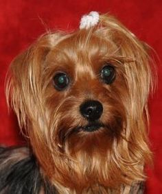 CARMAN is an adoptable Yorkshire Terrier Yorkie Dog in Dothan, AL. CARMAN IS A 4 YEAR OLD FEMALE YORKSHIRE TERRIER. SHE IS UP TO DATE ON VACCINATIONS, HEARTWORM NEGATIVE, MICROCHIPPED, AND SPAYED. CAR...