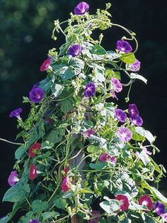 Tall Vine Pole --You can't tell from the photo, but these pink and blue morning glories are enjoying a ride up an attractive, ball-topped vine pole. Designed to look good in the off-season, this pole is easy to make and suitable for any tall-growing vine.