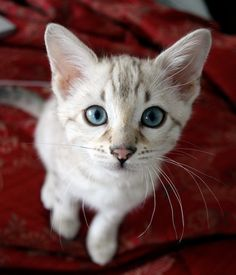 Bengal Kittens FawnWhisper moons Rank: Warrior Appearance: Blue eyes light pelt with brown splotches. Mate: none Personality: calm and patient. Pretty Cats, Beautiful Cats, Animals Beautiful, Cute Cats And Kittens, Kittens Cutest, Cute Baby Animals, Animals And Pets, Funny Animals, Gato Calico