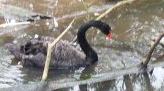 Black swan Melbourne Trip, Black Swan