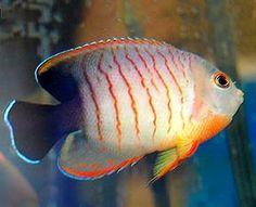 Eilbl's Dwarf Angelfish