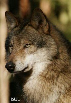 Wolf with green eyes Wolf Photos, Wolf Pictures, Wolf Love, Wolf Spirit, My Spirit Animal, Beautiful Creatures, Animals Beautiful, Tier Wolf, Wolf Hybrid