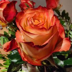 36/365 a dzis        #bobiko365 #365project #365 #365photochallenge #366project #365days #autumn #project365 #365challenge  #oneplus7t  #flowers #rose #nature #roses #fridaymood 365 Photo Challenge, 365days, Project 365, Roses, Autumn, Nature, Flowers, Plants, Instagram