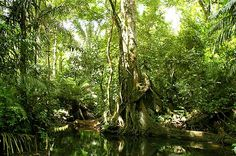 Picture of Jungle Scene at Panamas Soberania National Park at the el Charco Trail