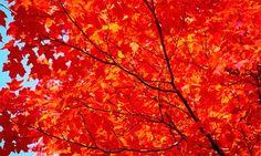 autumn  | ... ... you'll never miss the autumn leaves again. Photograph: Corbis