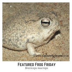 Today's featured friday frog is native to the deserts of South Africa. Amphibians, Reptiles, Frog Facts, Frog And Toad, Tortoises, Lizards, Funny Faces, Frogs, Turtles