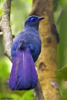 Blue Coua (The bird is a deep blue with a bare blue oval around the eye and beak. It is a member of the cuckoo family, and can be found in the north-western and eastern areas of Madagascar).