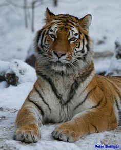 belgan tiger