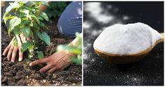 Obyčejná soda může být na vaší zahradě hotovým zázrakem! Co vše dokáže? Baking Soda Benefits, Baking Soda Uses, Comment Planter, Sodium Bicarbonate, Plantation, Permaculture, Fungi, Vegetable Garden, Health Benefits