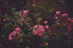 (1) Likes. Tumblr #soft #pink #roses #plants #flowers #outdoor #followback #tagforlikes #random #F4F