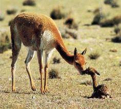 Argentina+Fauna | Fauna y flora del Perú según las ecorregiones - Monografias.com