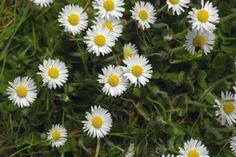 Wild Irish Daisy  http://www.wildflowersofireland.net/plant_detail.php?id_flower=83
