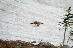 Fun Friday: Talk About a Burrow! Hoary Marmot (Marmota caligata) running in snow   Show Me Nature Photography