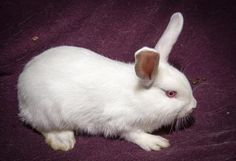 Meet+White+Out,+a+Petfinder+adoptable+New+Zealand+Rabbit+|+Dayton,+OH+|+Petfinder.com+is+the+world's+largest+database+of+adoptable+pets+and+pet+care+information....