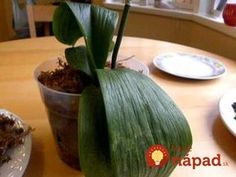 ORCHID CARE: Learn how to make an orchid flower again and rebloom after the last phalaenopsis orchids flower falls from its stem! Care for your orchids after. Orchid Roots, Orchid Leaves, Growing Orchids, Liquid Fertilizer, Orchidaceae, Garden Seating, Garden Benches, Potting Soil, All Plants