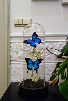 Butterfly taxidermie, made by INScT. Glass Domes, Glass Vase, Diy Butterfly Decorations, Butterfly Frame, The Bell Jar, Sweet 16 Parties, Jar Crafts, Beauty And The Beast, Snow Globes
