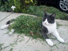 The Unusual and rarely seen Grass Cat