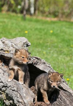 Coyote-pups ~ Coyotes grow to their full size within the first year of life. Look for the pups between April and August in small packs of their relatives.
