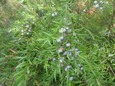 Austromyrtus dulcis – Midgenberry   Gardening With Angus