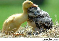 40- Ördek ve Baykuş