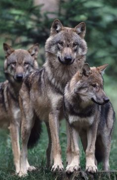 "Russian grey wolves. Still from ""Wild Russia."""
