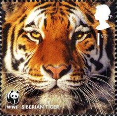 Amur Tiger (Panthera tigris altaica)