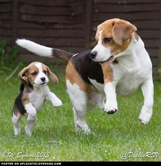 Beagle Prance  If you love beagles, please do check out:  http://www.beaglefreedomproject.org  #beaglefreedomproject