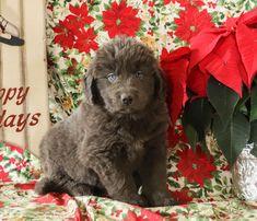 Newfoundland Puppies, Lancaster Puppies, Animals Dog, Puppies For Sale, Mans Best Friend, Puppy Love, Cuddling, Waiting, Fur
