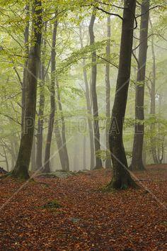 Swedish Beech Forest II -             Fotobehang & Behang -           Photowall