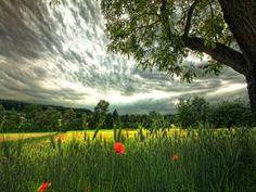 Un hermoso campo de trigo verde y amapolas